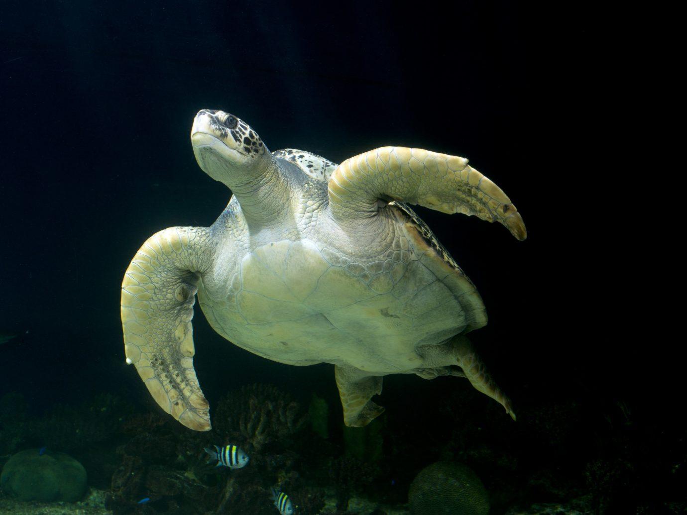 Trip Ideas reptile animal turtle vertebrate marine biology fauna biology underwater sea turtle