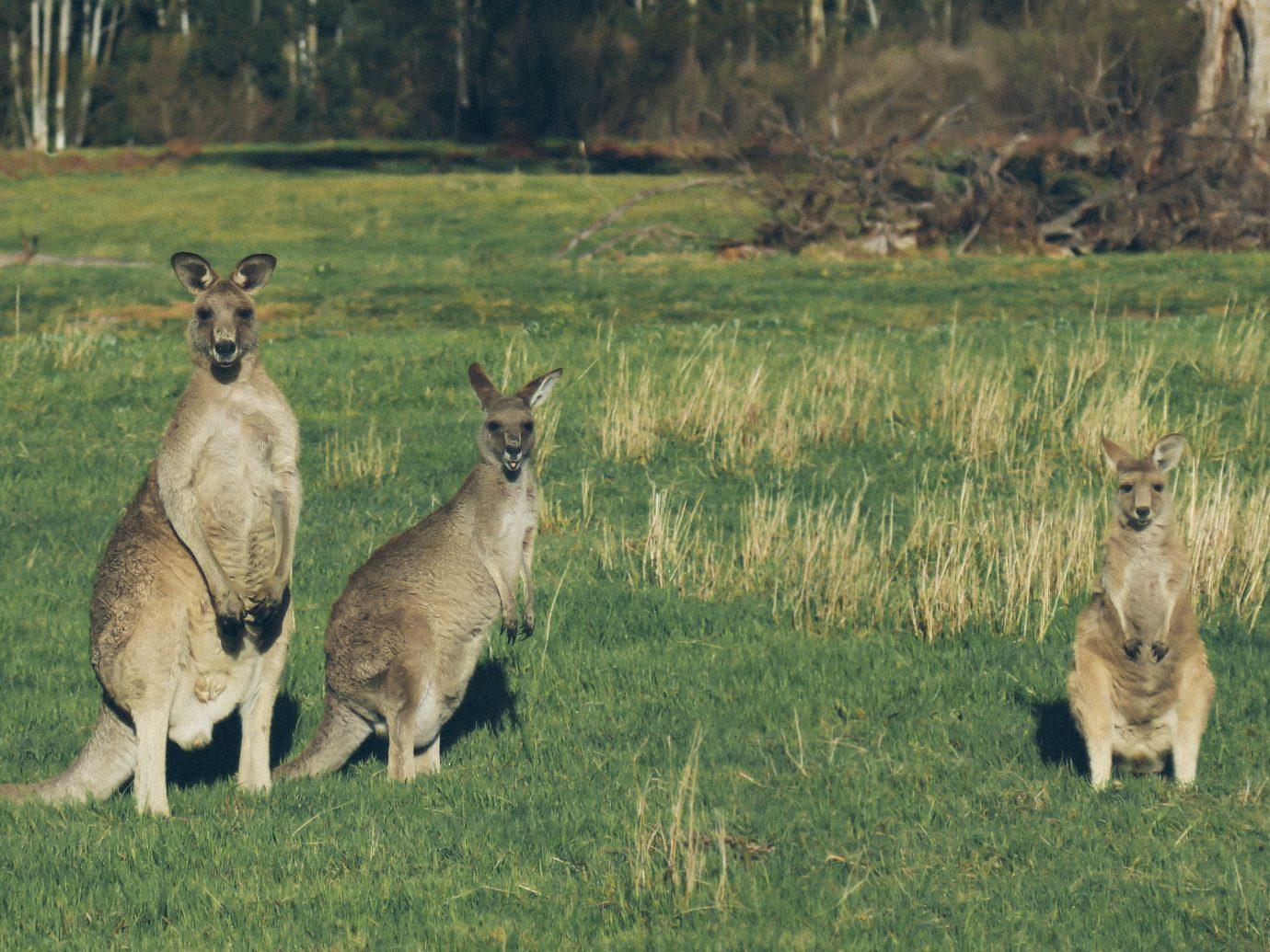 Trip Ideas grass animal outdoor field kangaroo mammal Wildlife fauna marsupial macropodidae grassland prairie white tailed deer savanna grassy