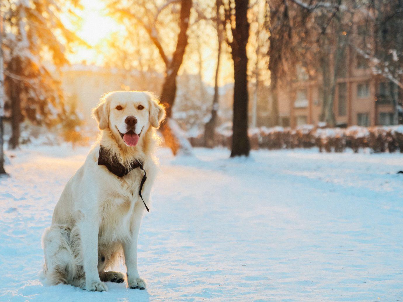 Hotels Dog outdoor tree snow mammal Winter golden retriever weather season dog like mammal retriever