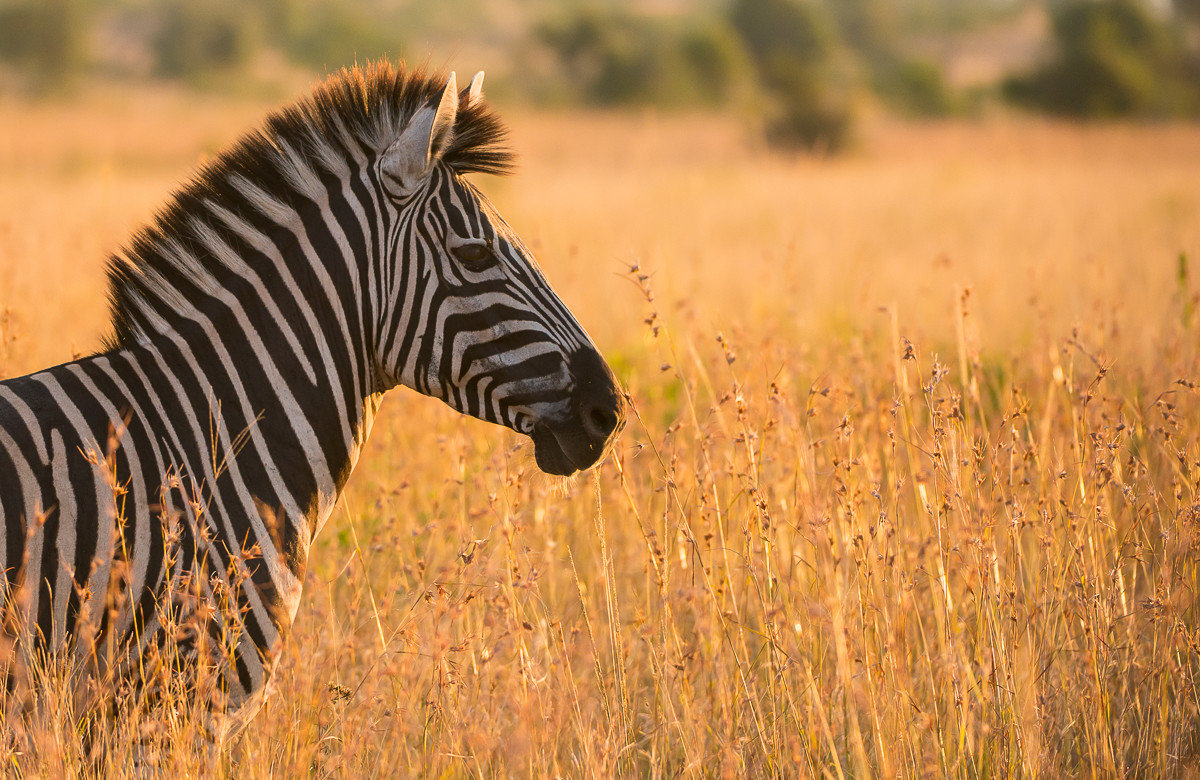 Offbeat Safaris grass outdoor field animal mammal standing Wildlife tall fauna zebra grassland savanna prairie horse like mammal mane Safari mustang horse plain grassy Adventure dry lone