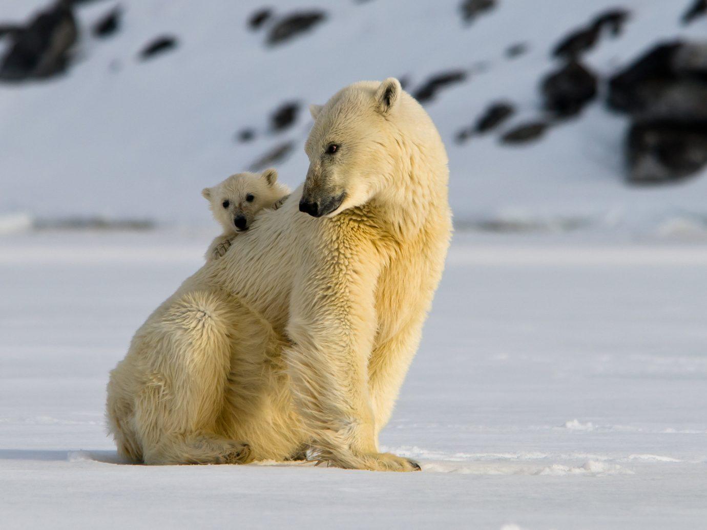 Adventure outdoor animal mammal polar bear bear polar fauna arctic Wildlife terrestrial animal carnivoran snout ice polar ice cap arctic ocean tundra fur grizzly bear