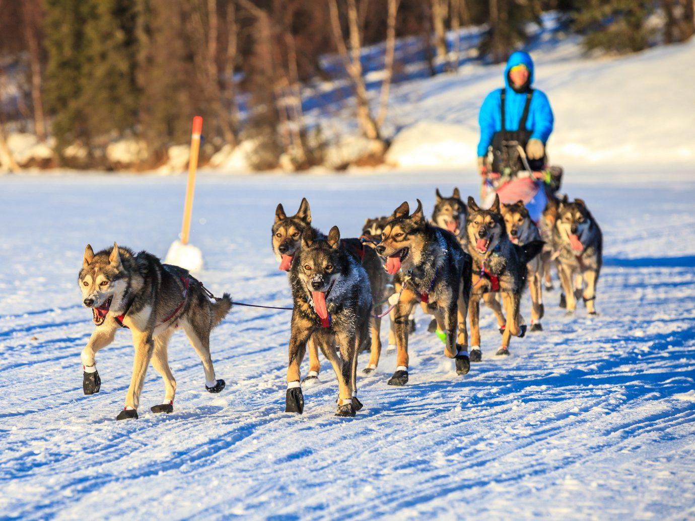 Hotels snow outdoor Dog mushing mammal Winter sled dog racing vehicle dog sled season transport dog like mammal