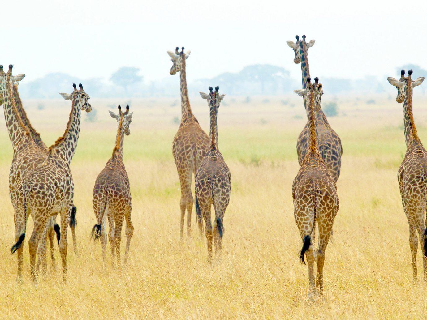 Hotels Luxury Travel grass outdoor field herd animal giraffe mammal vertebrate savanna group Wildlife fauna giraffidae Safari grassland grassy prairie