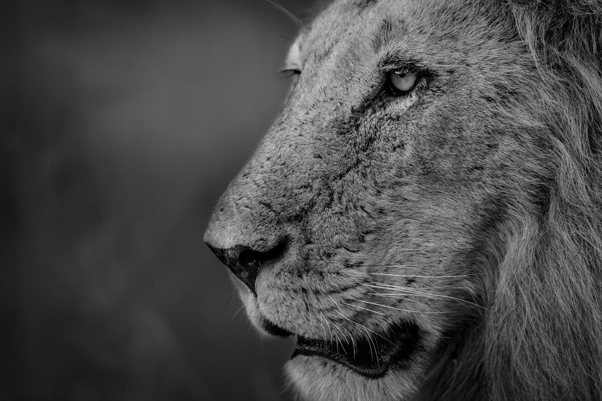 Trip Ideas mammal animal big cat Lion looking black and white staring vertebrate black fauna nose whiskers close close up monochrome photography mane monochrome head cat like mammal snout big cats Wildlife closeup eyes distance