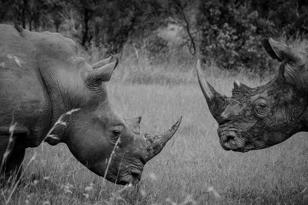 Trip Ideas outdoor grass rhinoceros animal mammal field tree black and white standing fauna Wildlife monochrome photography monochrome cattle like mammal grassy pasture