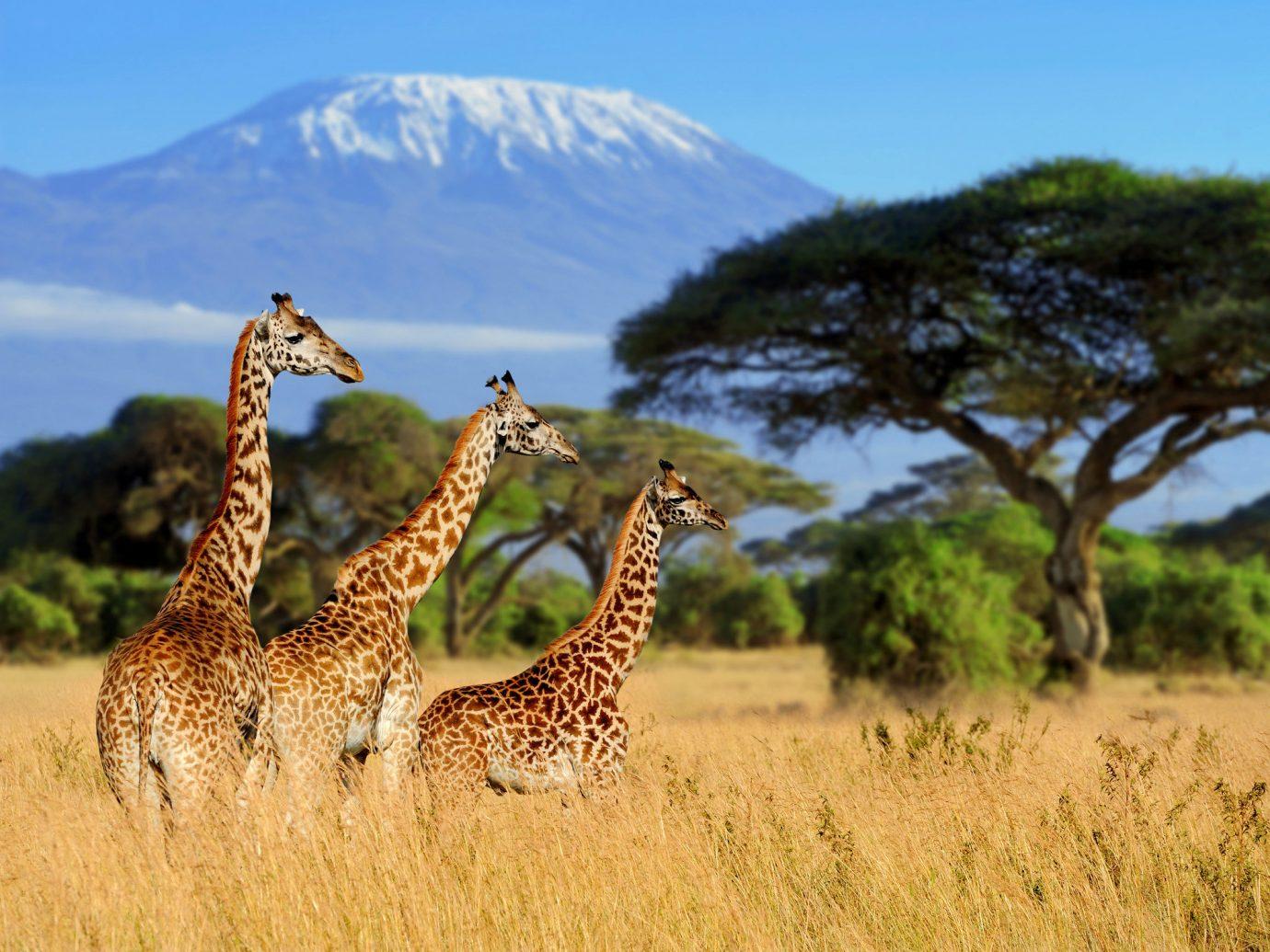 Trip Ideas outdoor grass sky animal field giraffe savanna mammal Wildlife fauna ecosystem natural environment mountain giraffidae grassland Safari grassy Adventure tall plain prairie