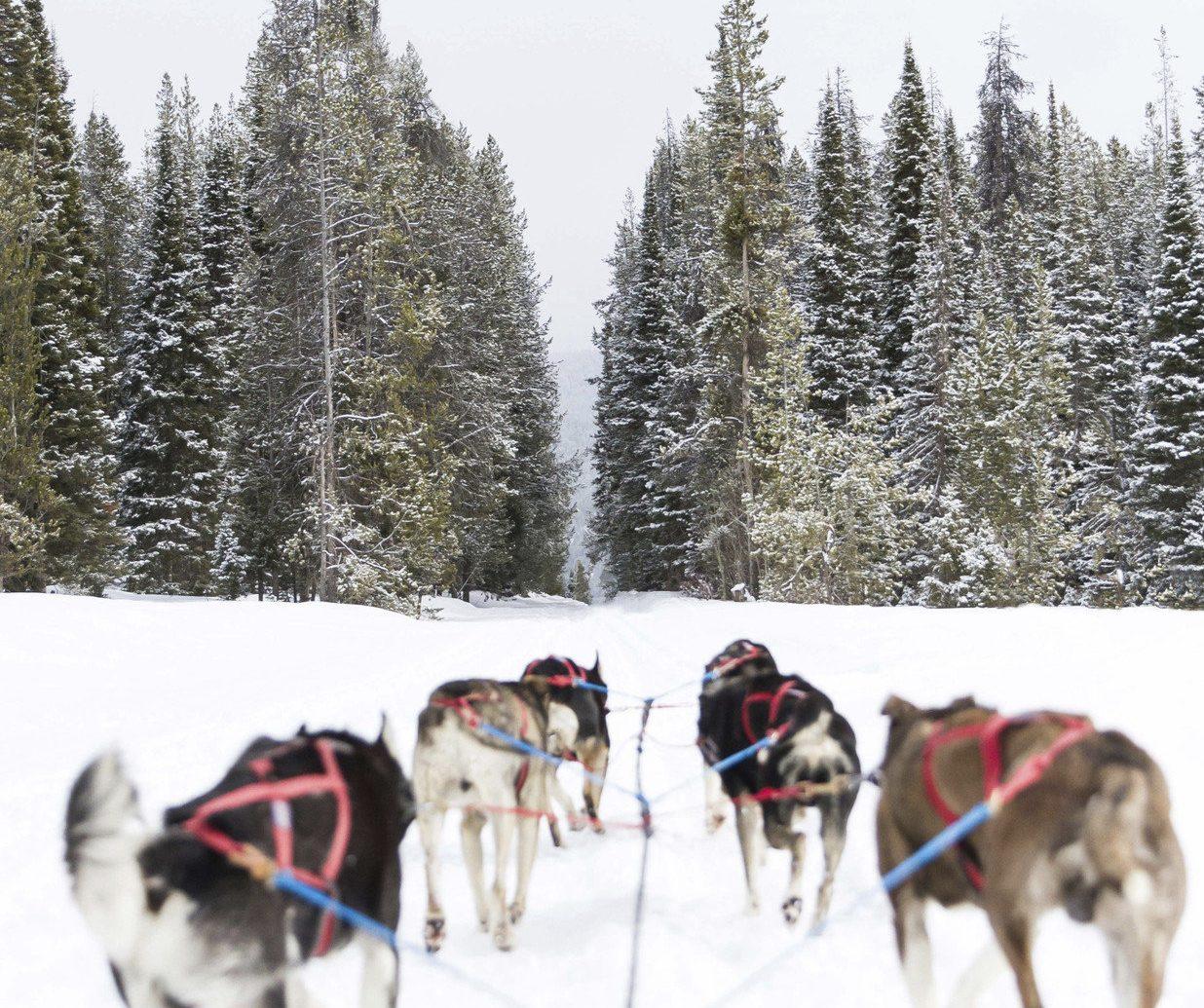 Hotels Luxury Travel Mountains + Skiing tree transport outdoor snow sled Dog dog sled vehicle land vehicle mushing skiing sled dog racing Winter sled dog animal sports dog like mammal line