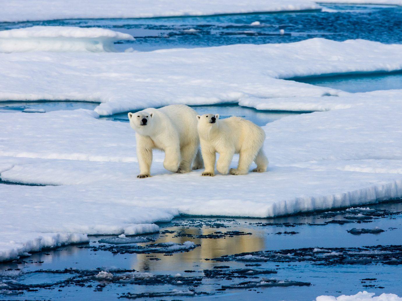 Adventure Trip Ideas water polar outdoor polar bear arctic ocean animal arctic bear mammal polar ice cap ice ice cap melting tundra Wildlife carnivoran sea ice Ocean freezing glacial landform swimming