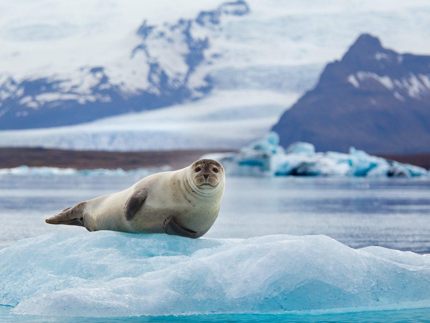 Iceland Outdoors + Adventure Road Trips arctic ocean arctic polar ice cap polar bear ice cap Sea ice iceberg glacial landform sea ice Wildlife Ocean glacier melting seals sky