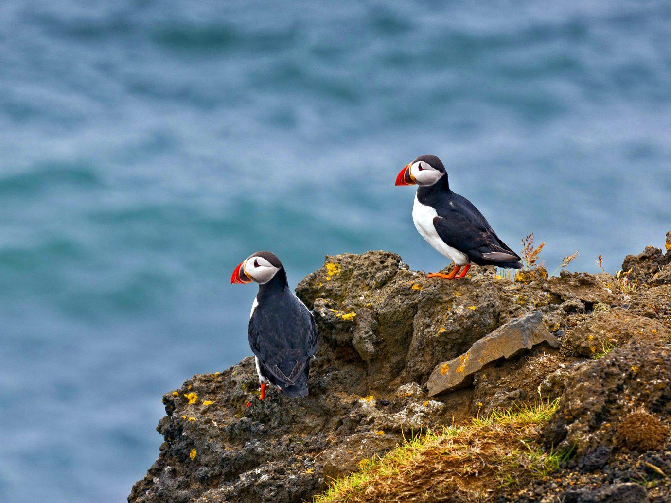 Travel Tips Bird outdoor water puffin animal beak vertebrate fauna Wildlife rock Sea charadriiformes seabird Ocean Coast