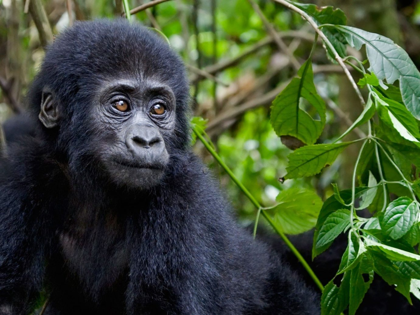 Trip Ideas mammal primate animal tree outdoor western gorilla black vertebrate great ape plant Wildlife fauna ape chimpanzee new world monkey common chimpanzee zoo Jungle