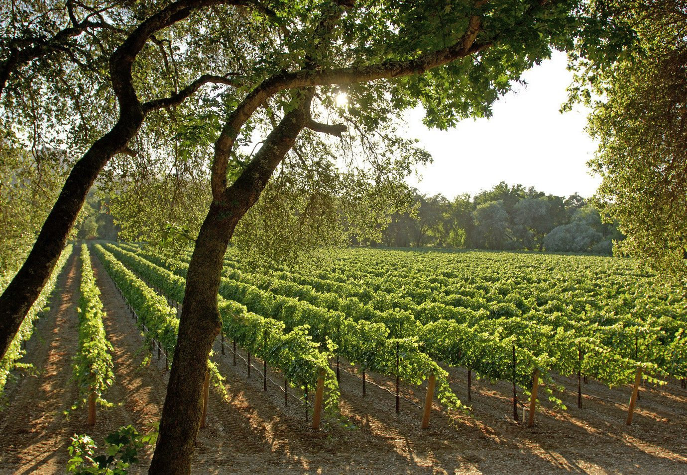 Offbeat tree outdoor agriculture plant green plantation field Vineyard botany soil flower rural area leaf produce Farm crop shrub woodland shade surrounded lush wooded