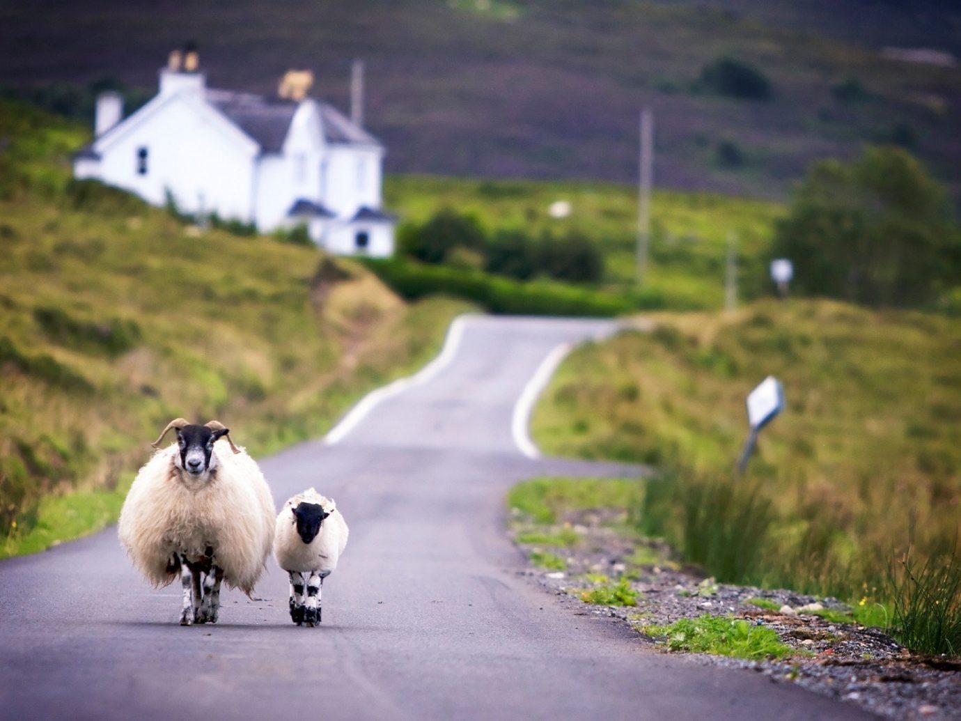 Arts + Culture grass outdoor road sheep mammal Dog rural area dog like mammal