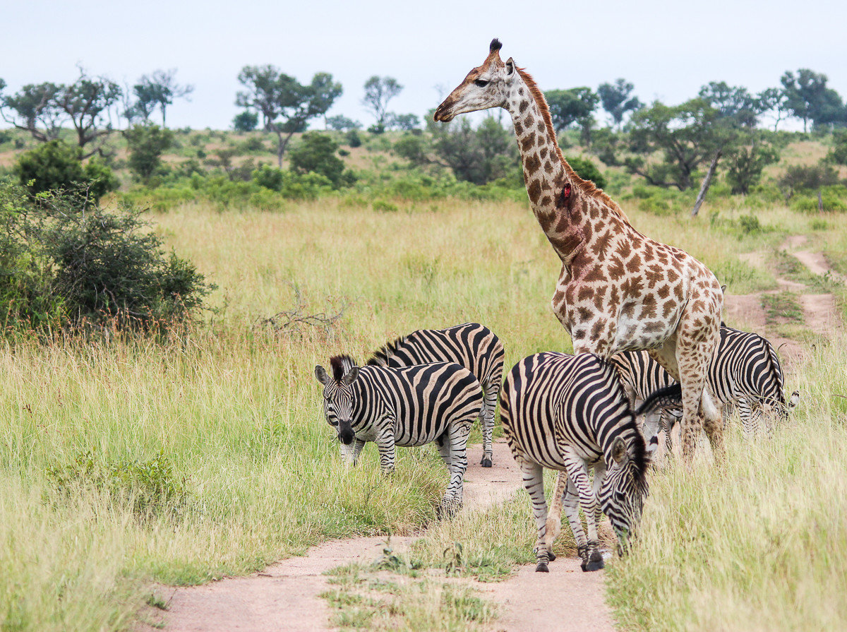 Offbeat Safaris grass outdoor zebra sky animal mammal giraffe field Wildlife savanna fauna standing Safari outdoor recreation Adventure grassland giraffidae dirt prairie wild