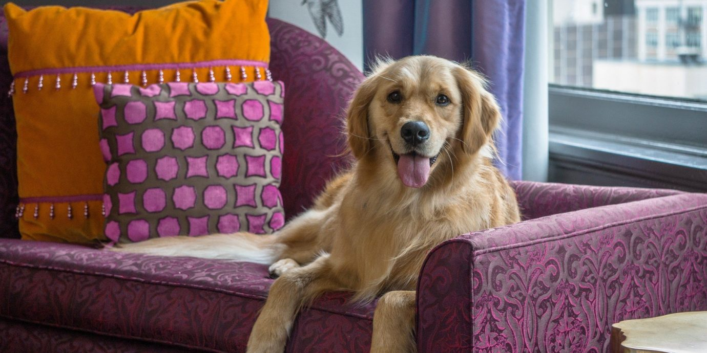Offbeat Dog indoor sofa brown mammal vertebrate golden retriever dog like mammal laying retriever puppy dog crossbreeds seat tan