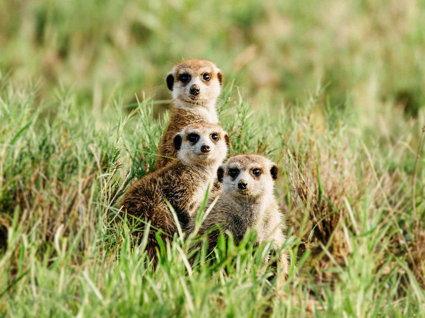 Outdoor Activities Safari Trip Ideas Wildlife mammal ecosystem fauna grassland grass terrestrial animal cheetah prairie meerkat ecoregion prairie dog grass family whiskers snout