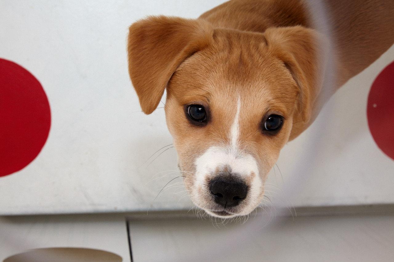 Trip Ideas Dog indoor mammal vertebrate dog breed looking brown puppy dog like mammal jack russell terrier terrier russell terrier dog crossbreeds