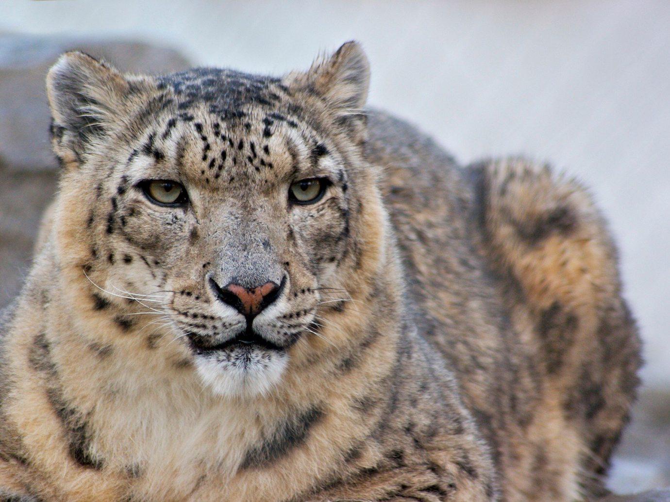 Trip Ideas animal mammal big cat cat vertebrate Wildlife fauna snow leopard whiskers close up cat like mammal big cats zoo