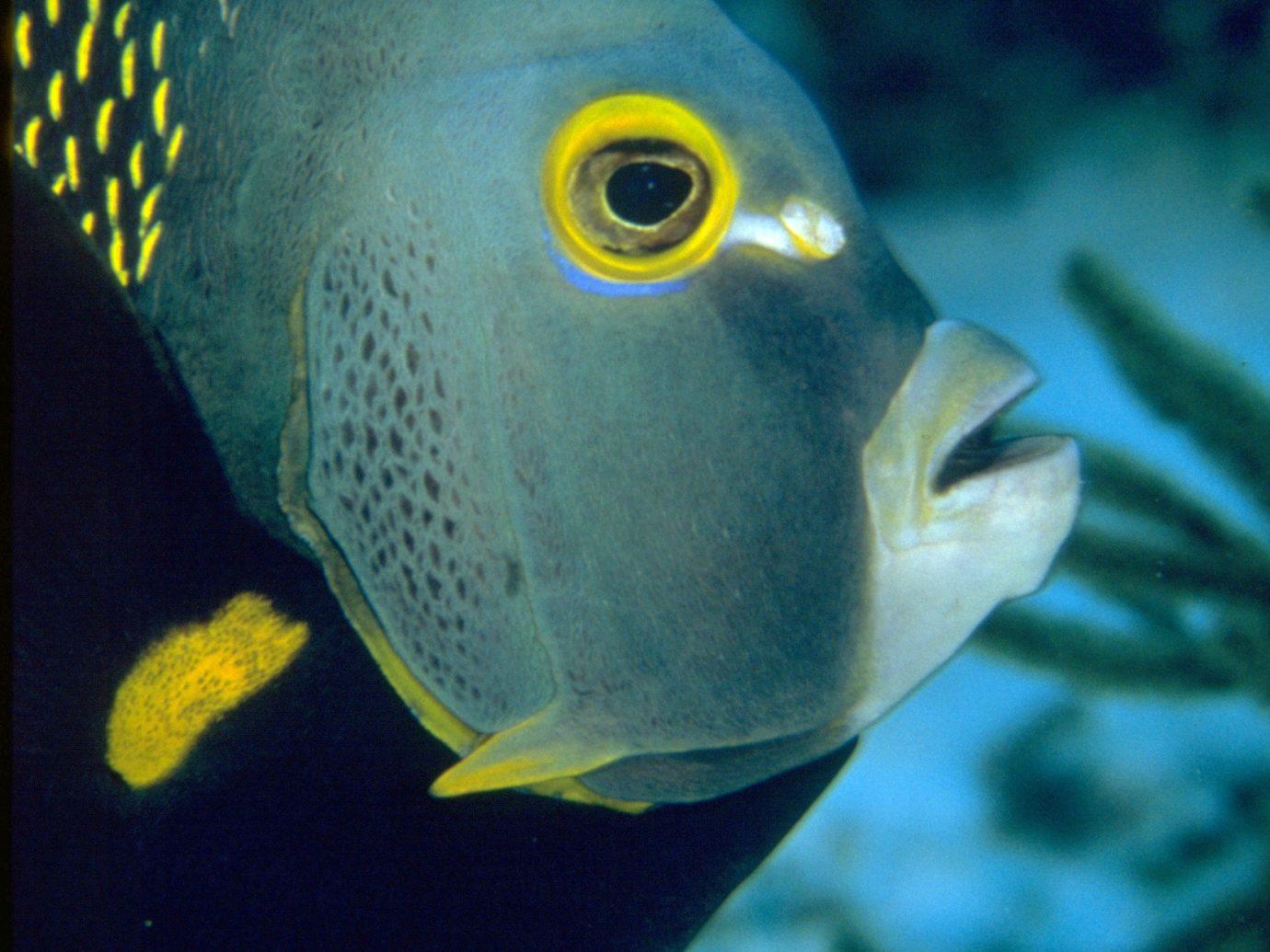 Trip Ideas fish animal blue marine biology underwater fauna biology yellow pomacanthidae spiny-finned fish reef coral reef fish aquarium black pomacentridae deep sea fish close