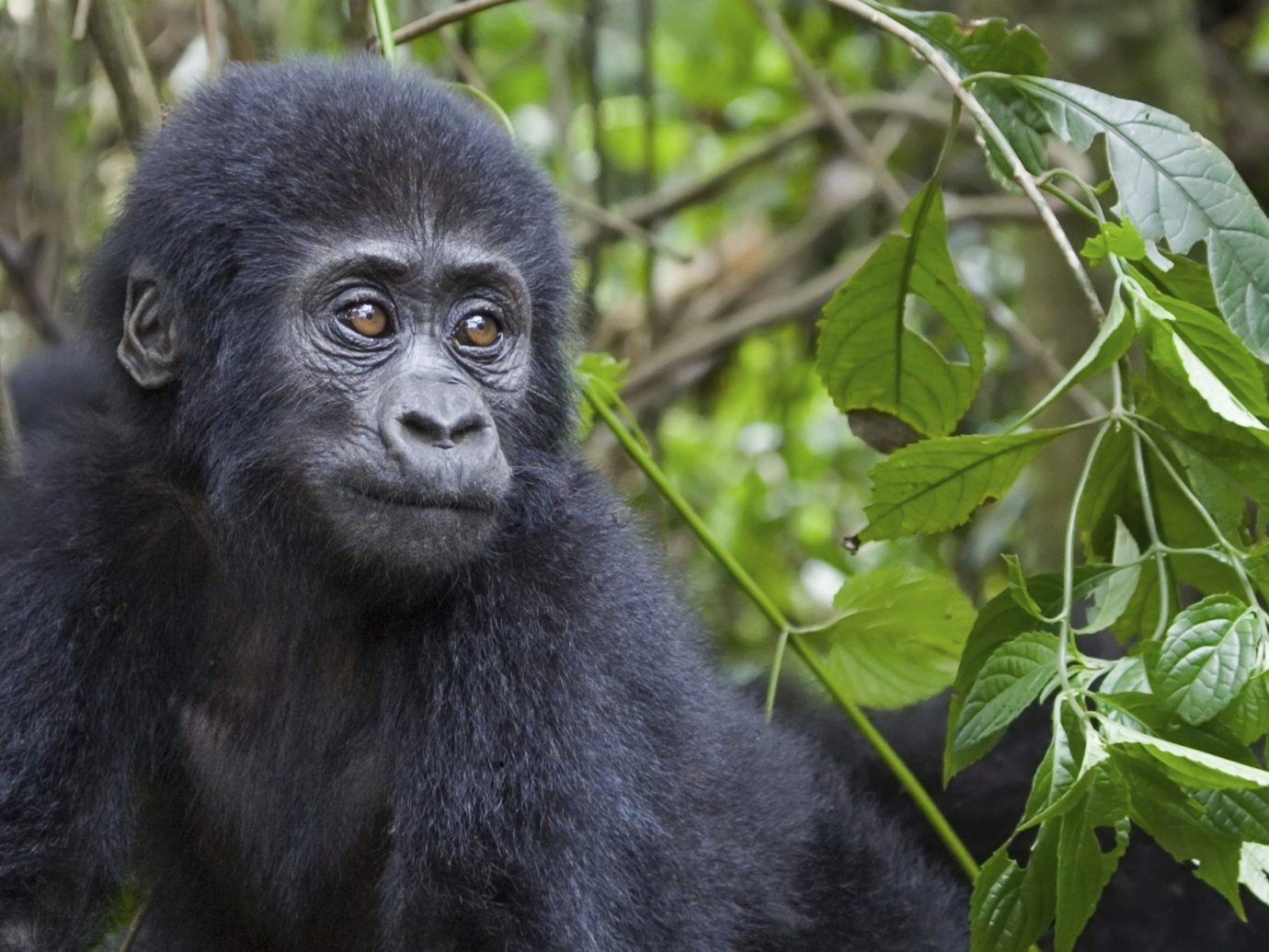 Trip Ideas mammal primate animal tree outdoor western gorilla vertebrate great ape black ape Wildlife fauna plant new world monkey zoo chimpanzee common chimpanzee Jungle gray
