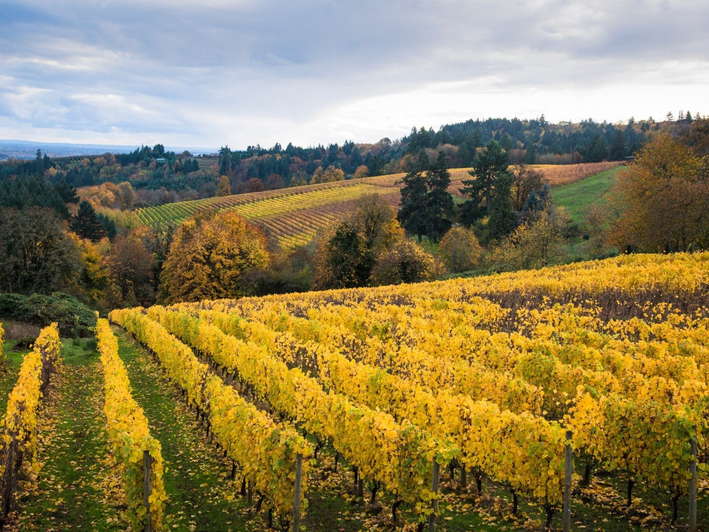 Vineyard in Willamette Valley, Oregon