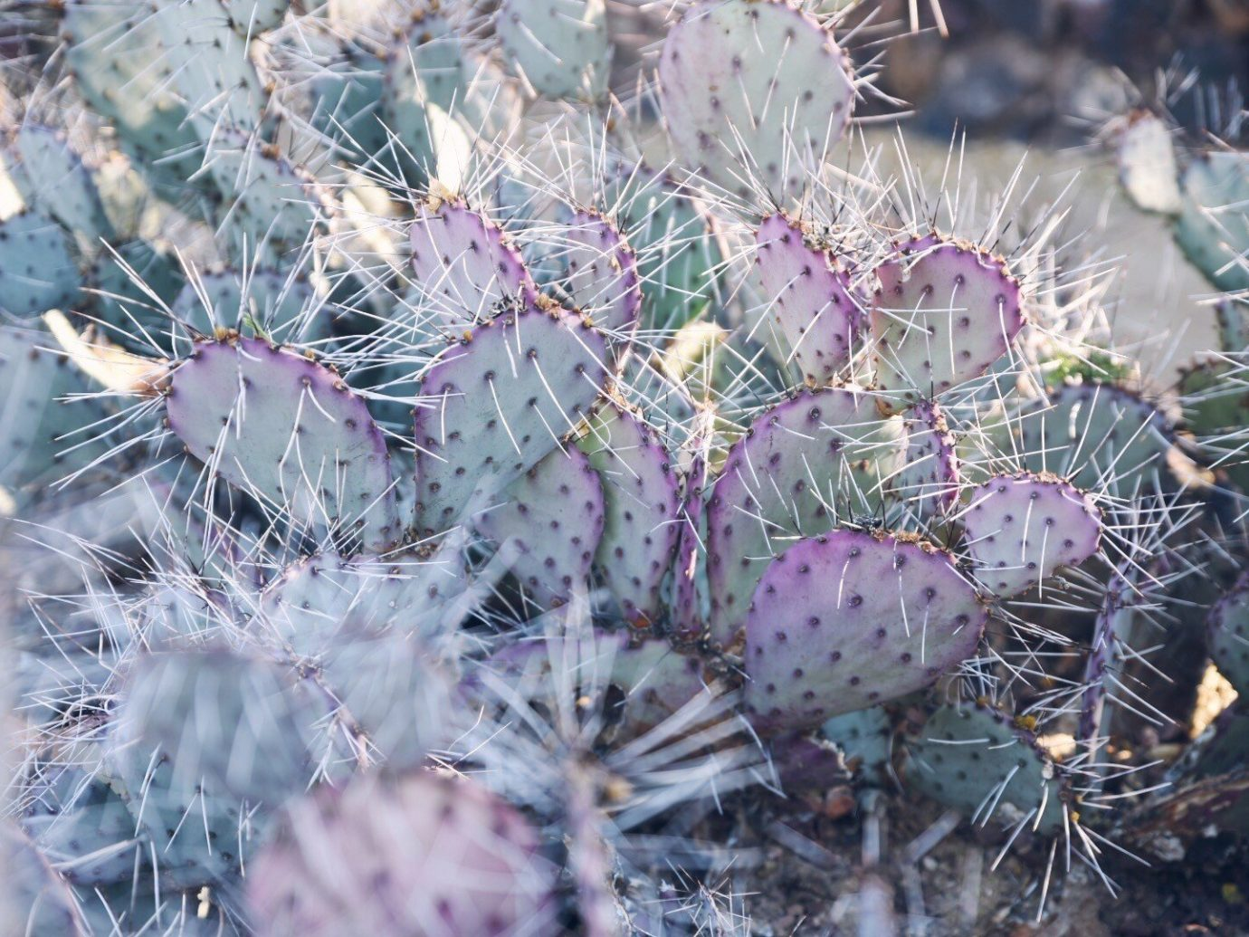 Jetsetter Guides plant flora cactus flower botany prickly pear land plant frost thorns spines and prickles flowering plant wildflower hedgehog cactus caryophyllales