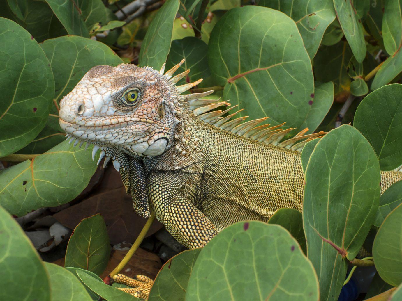 Beach Trip Ideas reptile plant animal outdoor lizard iguana vertebrate green iguania scaled reptile leaf fauna Wildlife chameleon botany african chameleon Jungle tropics tortoise rainforest emydidae Garden surrounded