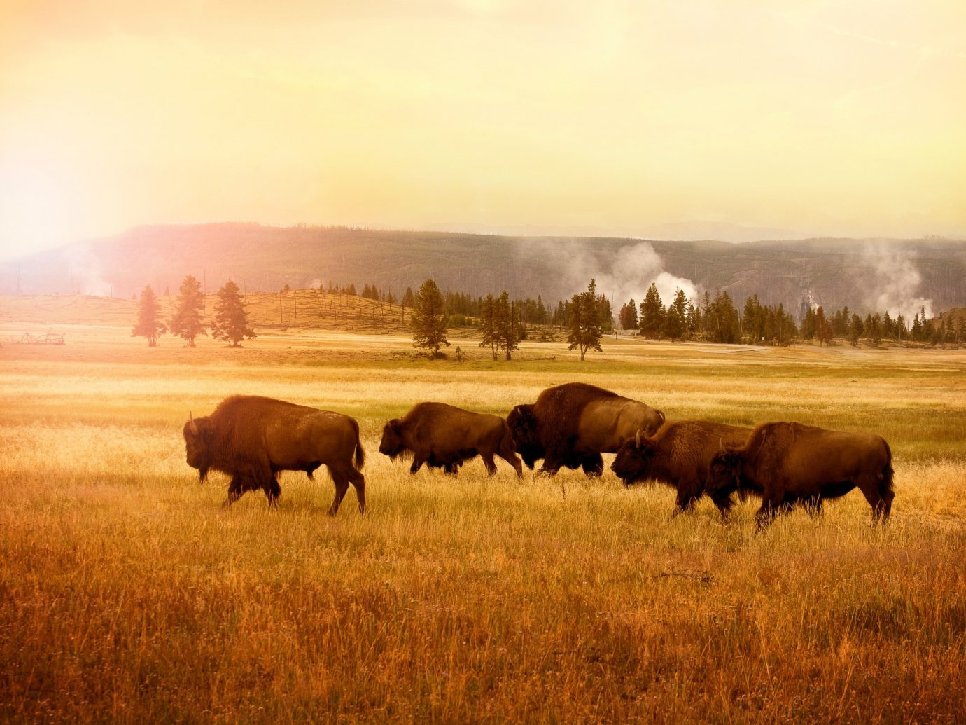 Mountains + Skiing Trip Ideas grass outdoor sky field cow grazing habitat herd pasture standing grassland brown atmospheric phenomenon plain natural environment ecosystem prairie savanna cattle like mammal steppe group morning Wildlife cattle grassy meadow cloudy clouds lush day colored distance