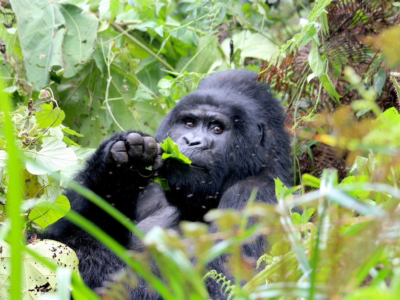 africa Trip Ideas outdoor animal mammal great ape ape fauna primate black leaf western gorilla rainforest Wildlife terrestrial animal grass Jungle plant organism chimpanzee common chimpanzee tree Forest
