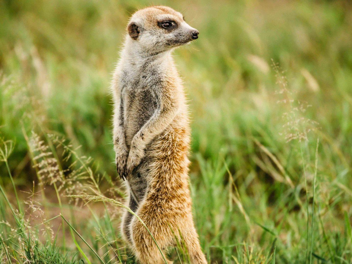 Outdoor Activities Safari Trip Ideas grass outdoor animal meerkat mammal ecosystem Wildlife fauna standing terrestrial animal grassland ecoregion prairie organism mongoose whiskers snout savanna