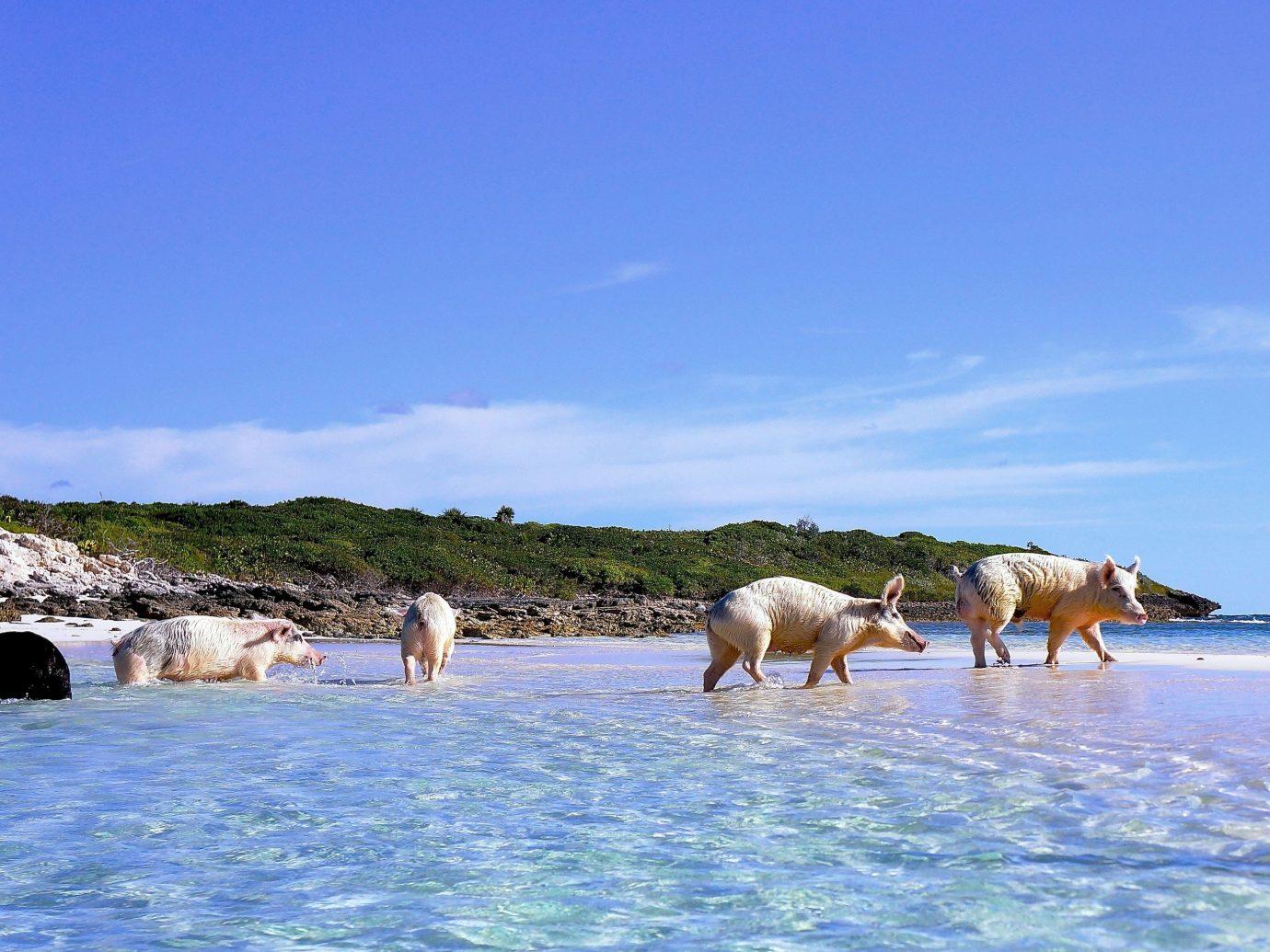 Pigs in the ocean at Grand Isle Resort