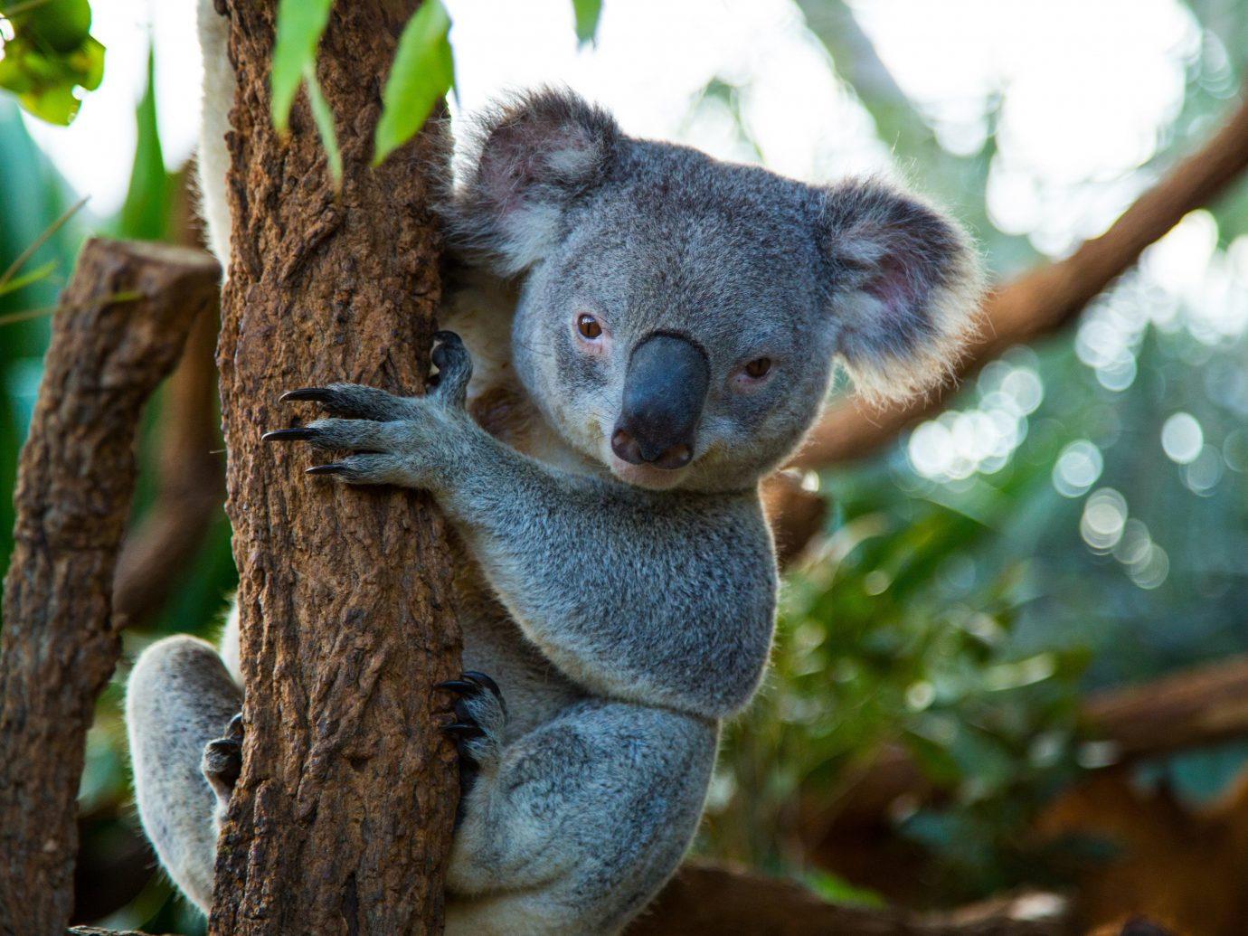 Trip Ideas tree koala animal mammal outdoor vertebrate Wildlife marsupial fauna branch zoo wood