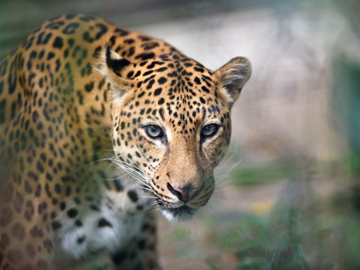 Budget big cat mammal animal jaguar leopard Wildlife vertebrate outdoor fauna standing whiskers cat like mammal big cats Safari zoo