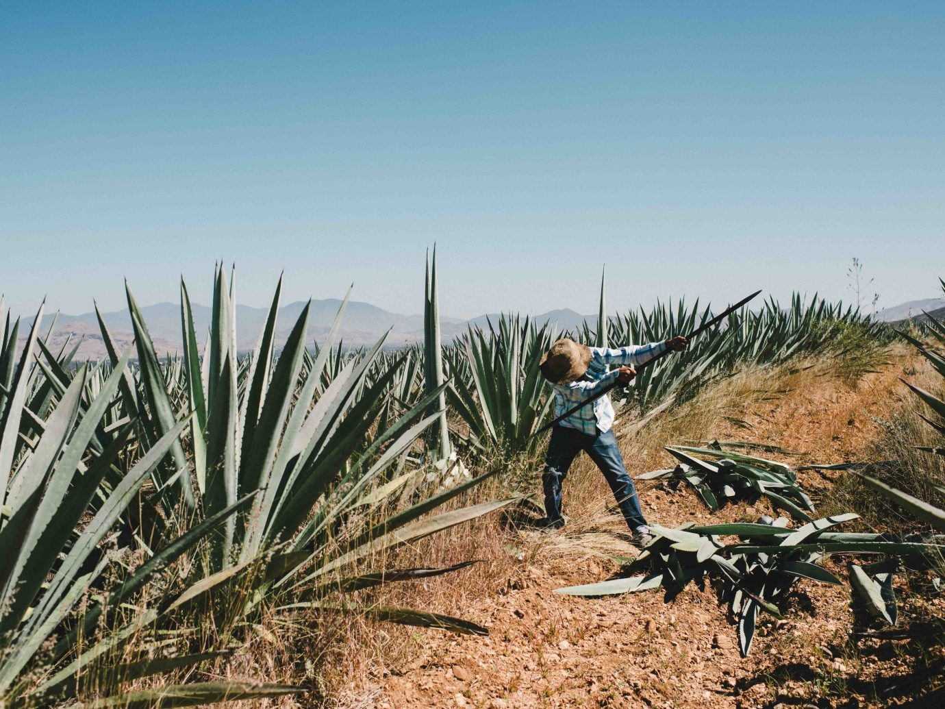 Arts + Culture Mexico Oaxaca Trip Ideas plant agave agave azul ecosystem vegetation shrubland grass family flowering plant arecales grass plant community crop field palm tree agriculture cactus tree sky ecoregion date palm plantation landscape