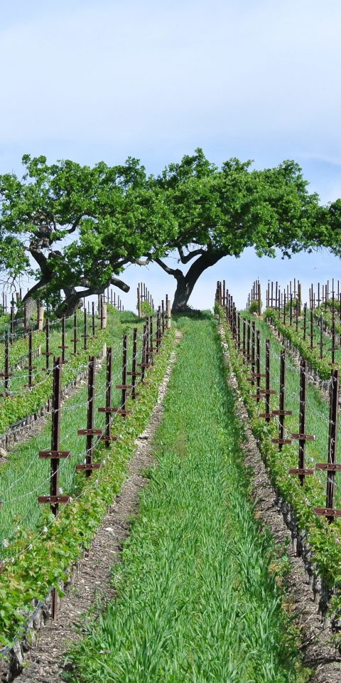 Food + Drink grass sky outdoor agriculture Fence Vineyard tree ecosystem plant field woody plant land plant soil plantation outdoor structure shrub crop flowering plant flower pasture lush