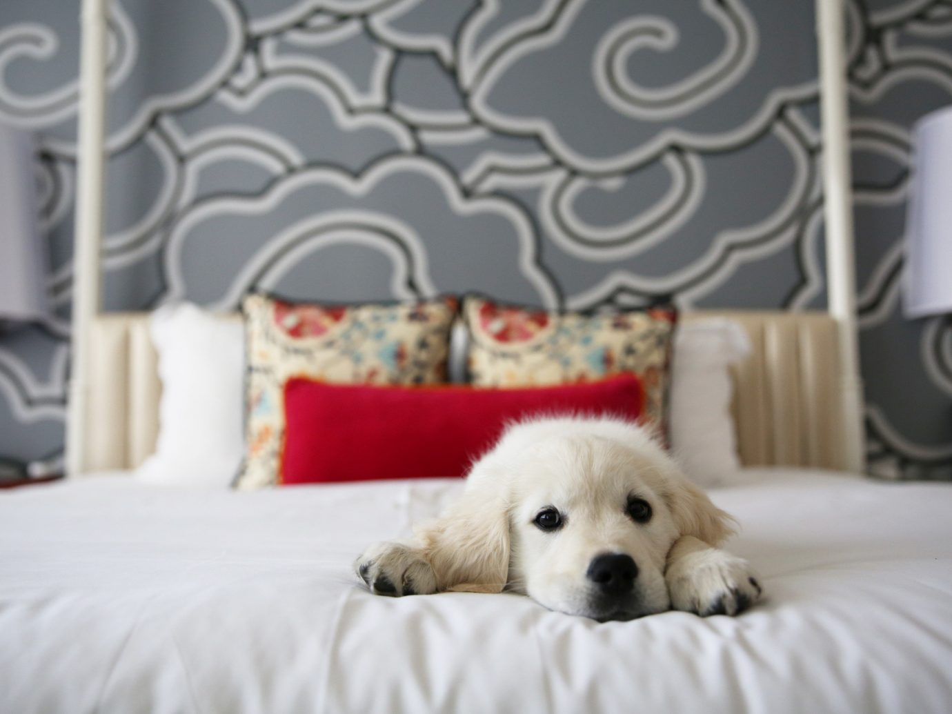 Offbeat indoor bed Dog mammal white product laying dog like mammal golden retriever pillow bedclothes puppy dog crossbreeds