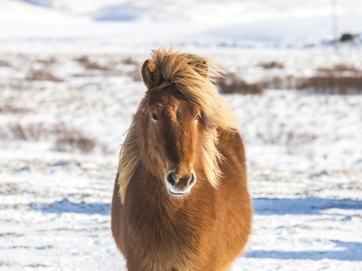 Iceland Trip Ideas outdoor animal mammal ground horse brown vertebrate Beach mane fauna standing Wildlife mustang horse horse like mammal sandy