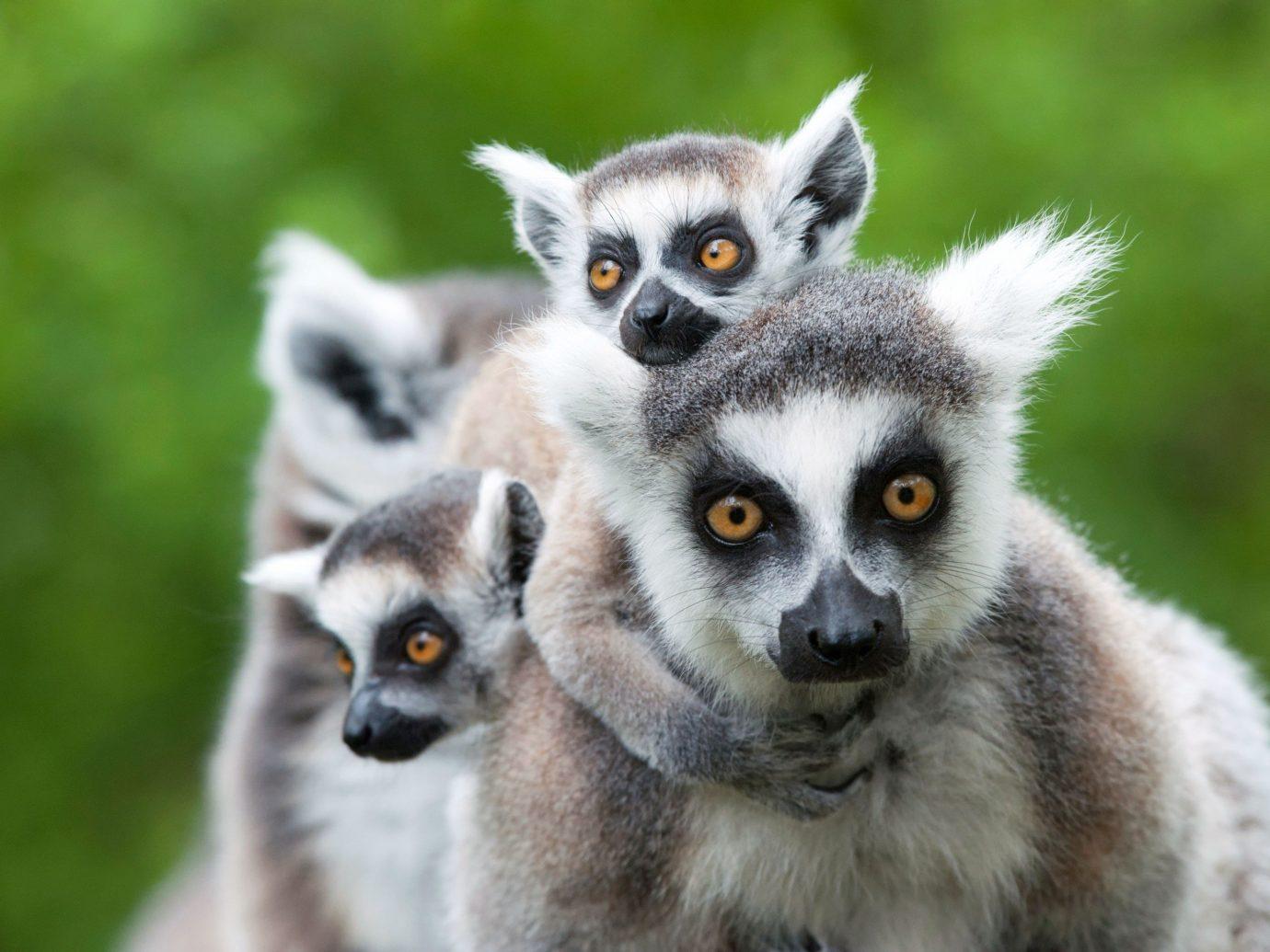 Trip Ideas mammal animal lemur vertebrate primate langur Wildlife fauna squirrel monkey pygmy slow loris loris new world monkey close staring bassarisk