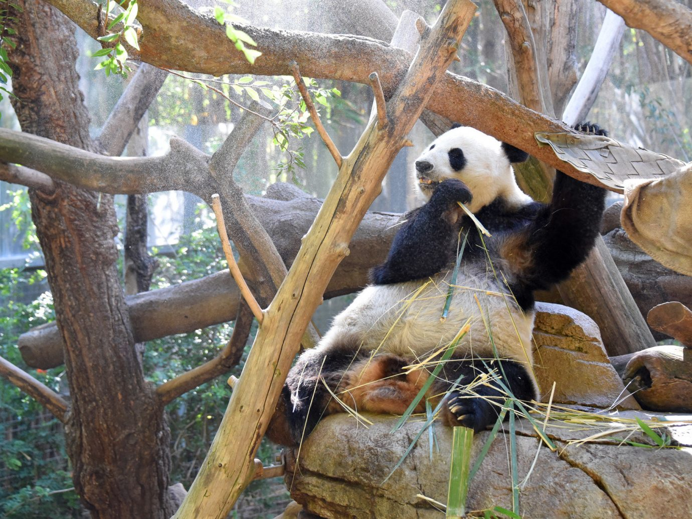 America Trip Ideas Weekend Getaways tree outdoor animal mammal Wildlife giant panda fauna zoo bear outdoor recreation branch recreation trunk