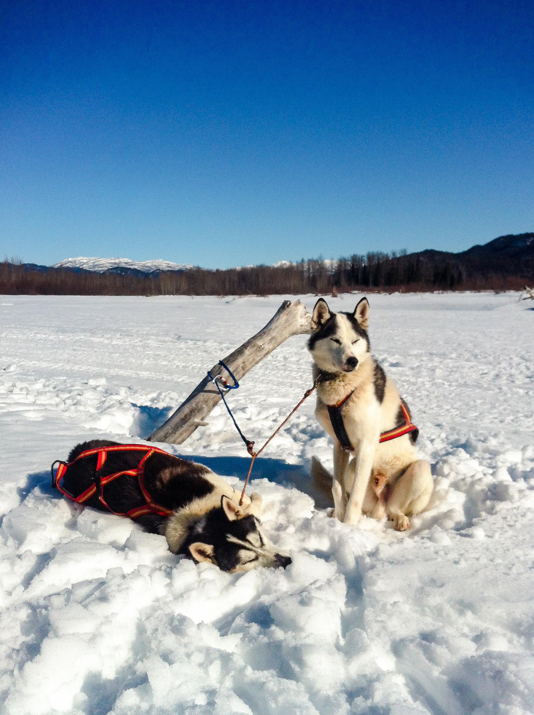 snow Dog dog like mammal Winter arctic sled dog racing mushing sky vacation ice leash sled dog siberian husky freezing Adventure glacial landform fun dog sled greenland dog dog breed