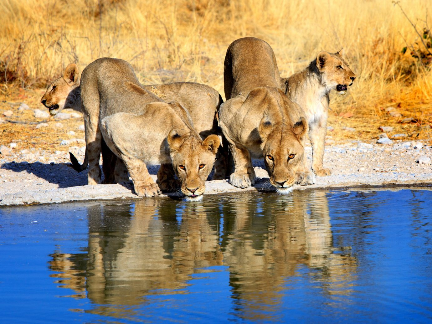 africa Honeymoon Namibia Romance Trip Ideas water animal Wildlife outdoor mammal Lion fauna wilderness reflection Safari terrestrial animal drinking masai lion savanna big cats snout grassland Drink pond Family several