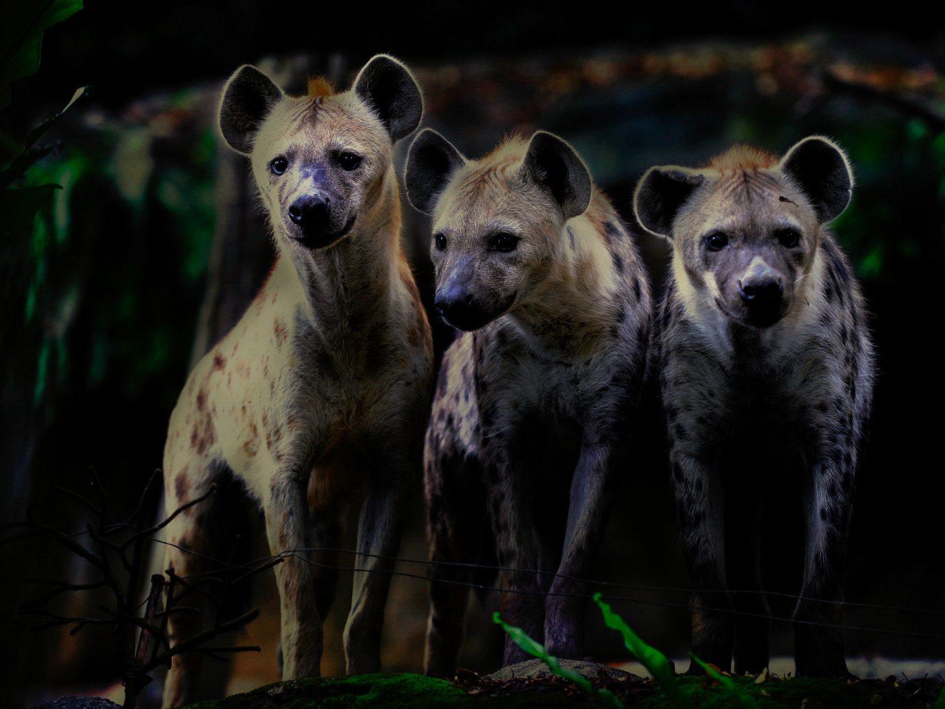 Arts + Culture Singapore Southeast Asia Trip Ideas hyena Wildlife mammal animal fauna standing terrestrial animal snout wild dog organism carnivoran