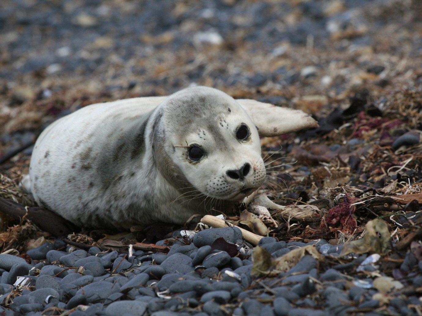 America Beach Trip Ideas West Coast rock outdoor animal ground Nature mammal Wildlife harbor seal fauna seals pile sheep zoo