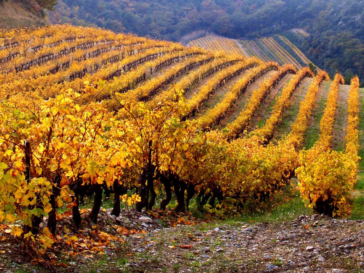 Vineyard Landscape in autumn, Provence, France