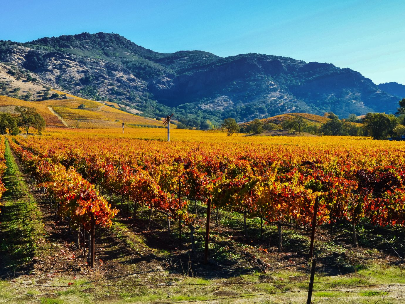 Colorful vineyards in the Napa Valley in autumn