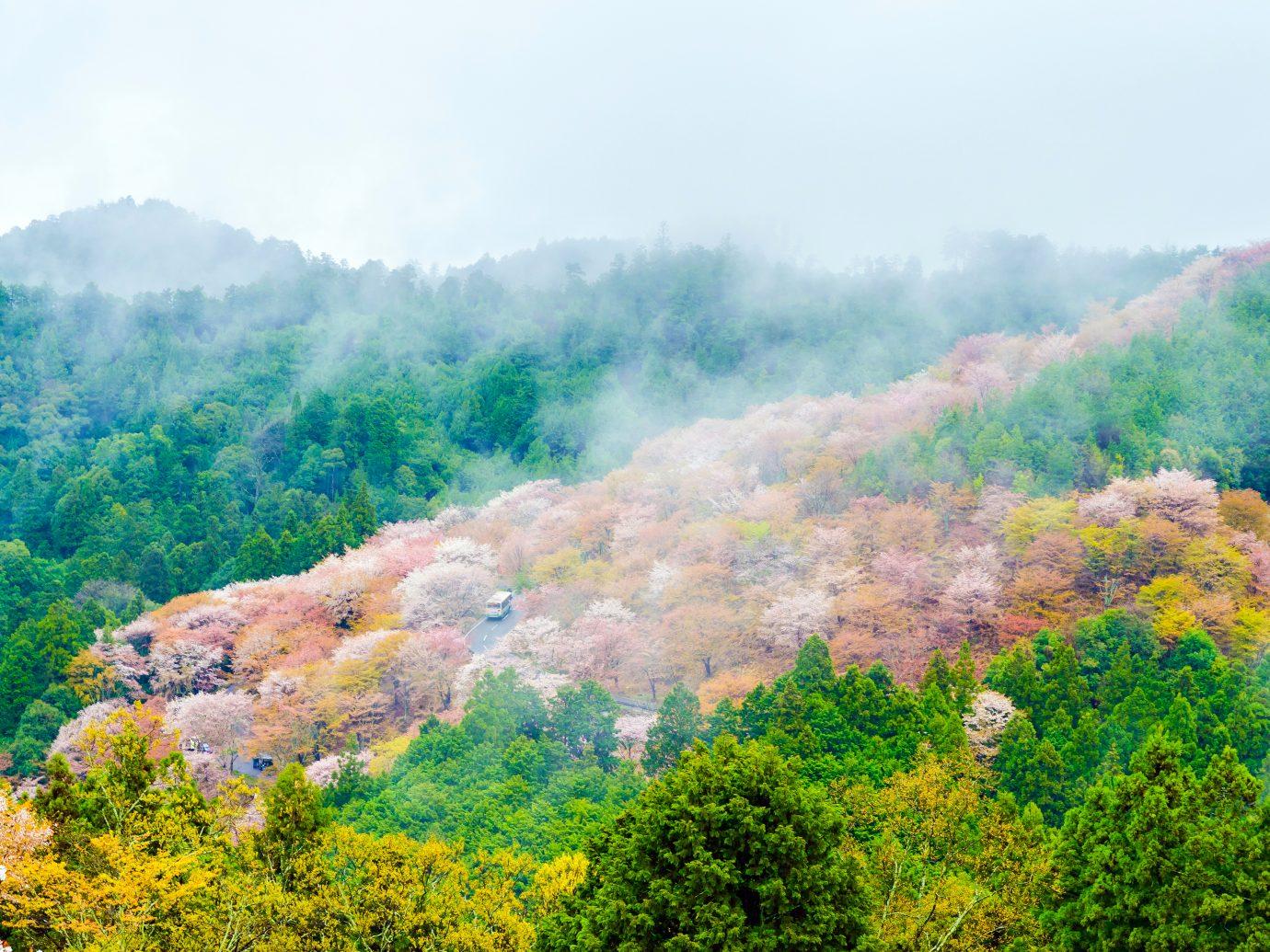 Cherry blossom on mount yoshino in the morning at nara japan