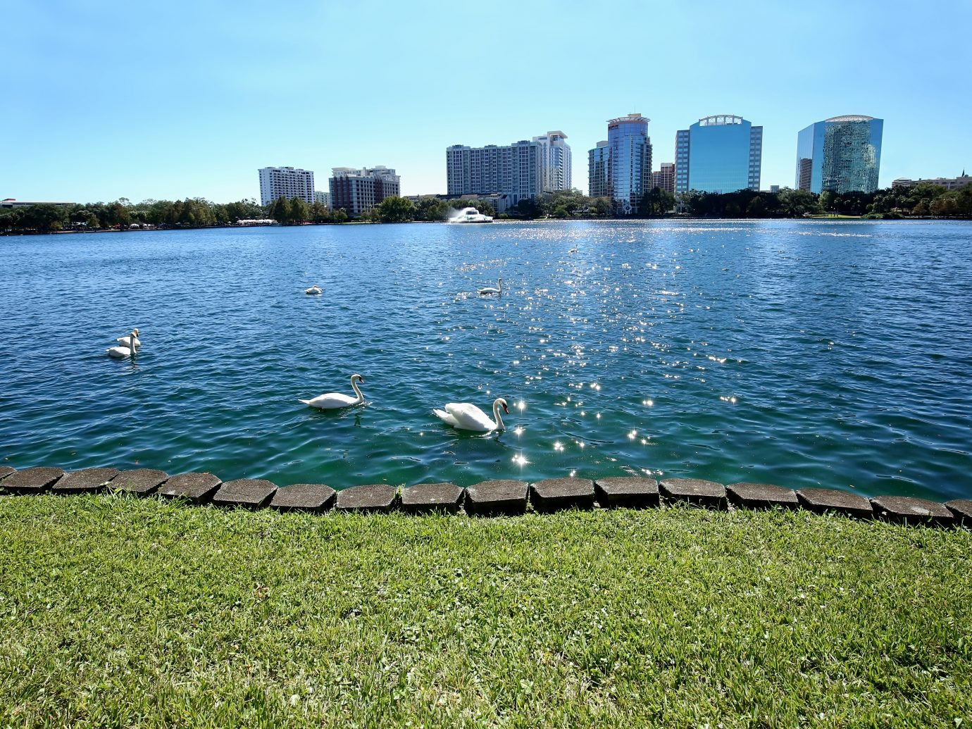 Muet swans glide in the glistening waters of Lake Eola Park a popular destination in Orlando, Florida.