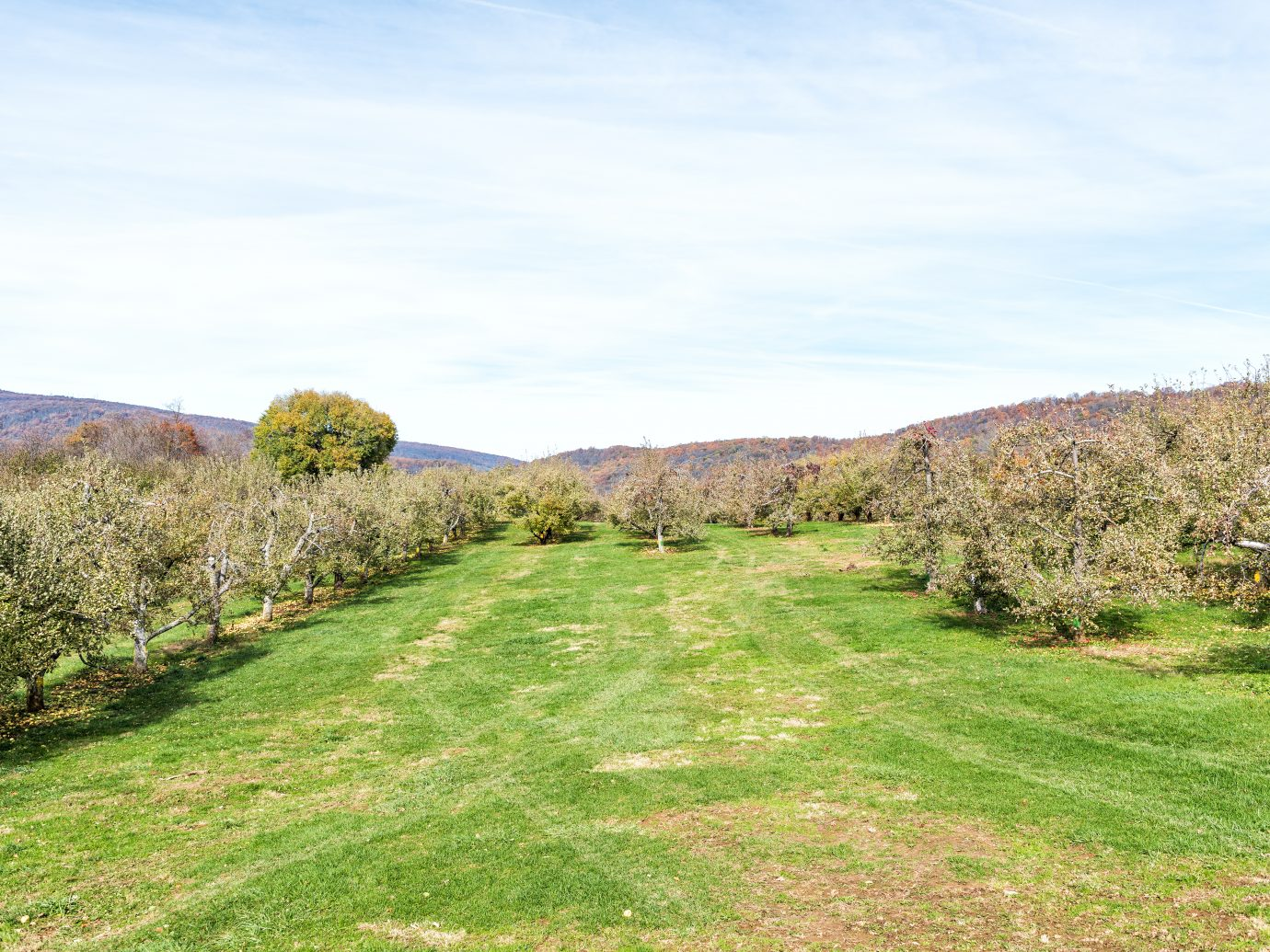 Apple orchard meadow with many trees, fallen yellow fruit on garden in autumn fall, farm countryside in Virginia, green grass path alley
