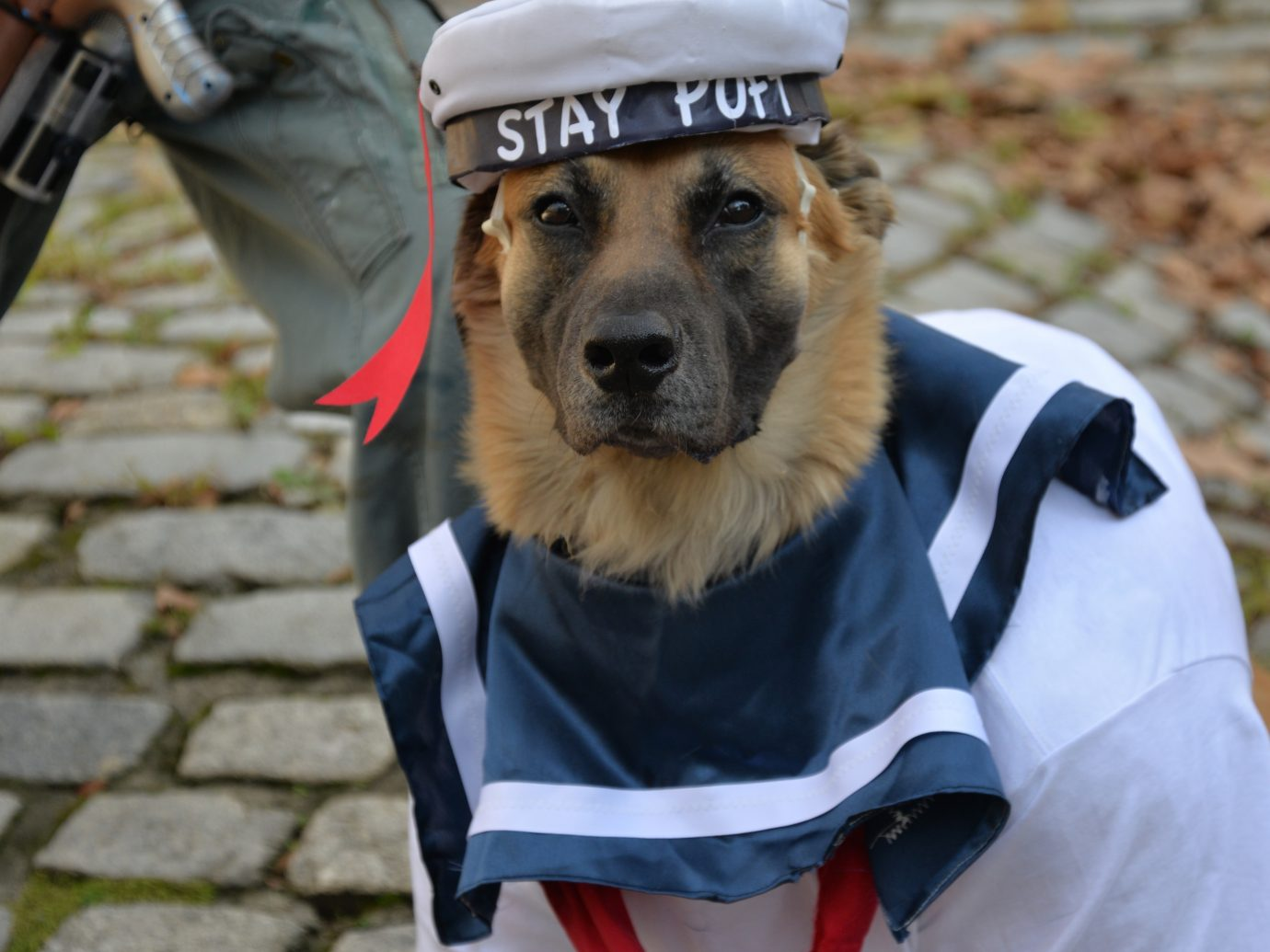 dog in sailor halloween costume