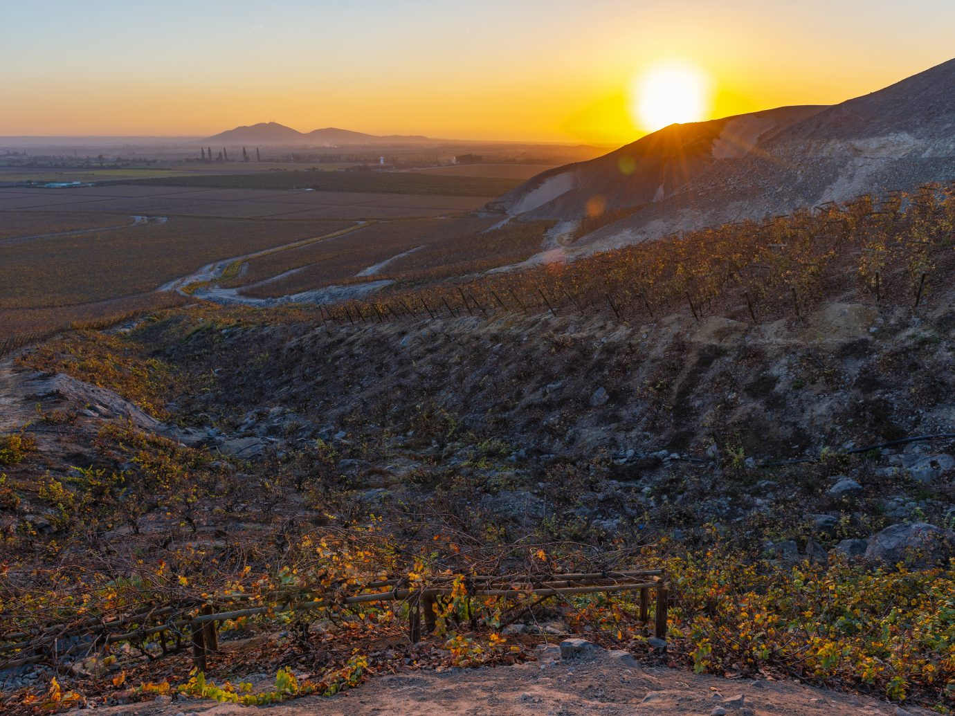 Sunset with lens flare in the vineyards of Ica for wine and Pisco production located in the desert by the coast of Peru, South America.